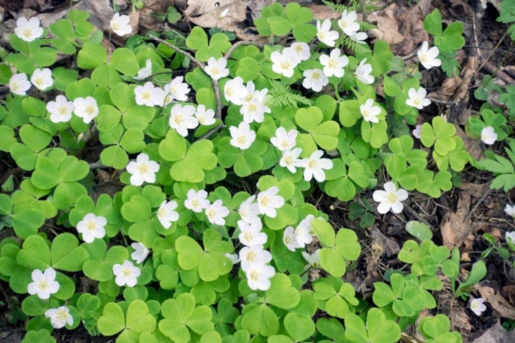 L'Oxalis Acetosella, appelé également Oxalis petite oseille, est une espèce vivace qui se propage un peu partout dans nos jardins, devenant ainsi très envahissante