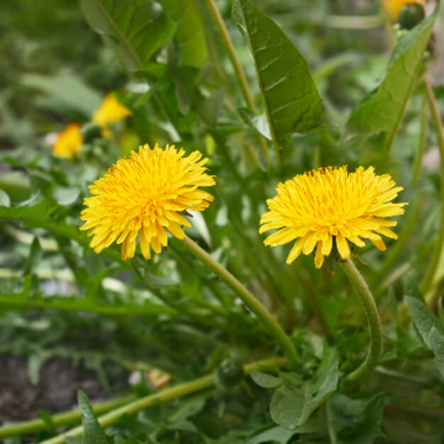 Le pissenlit est une mauvaise herbe très répandue en France qui fleurit en quantité au début du printemps